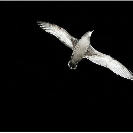 Shearwater. - A shearwater or Mutton bird in flight.