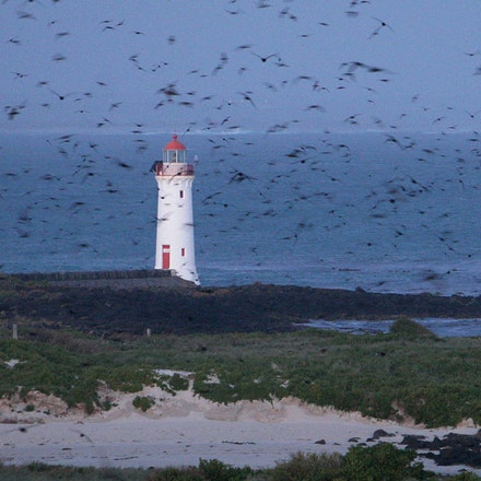 Port Fairy Lighthouse and Shearwaters. - The Port Fairy Lighthouse and Shearwaters returning to their nest at dusk after a day at sea on Griffith Is.