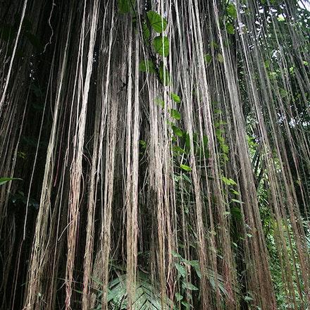 Vines-Bali