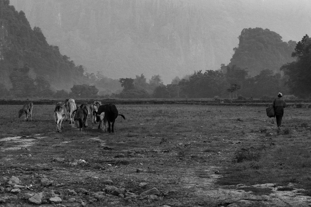 bw-laos-morning-grazing