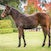Merchant Navy x Blue Sky Baby filly 19 COOLMORE_00003
