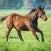 Merchant Navy x Opalize filly 19 COOLMORE_00008
