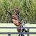 stallion handler