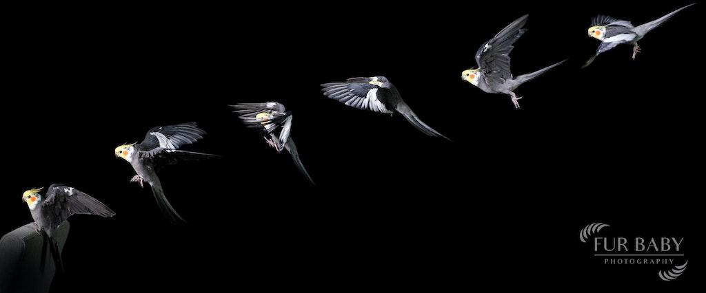 Cockatiel Flying_Fur Baby Photography_WM