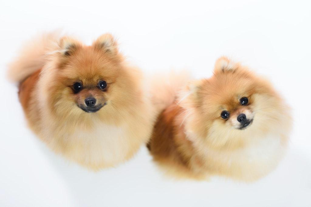 Pomeranian Pair