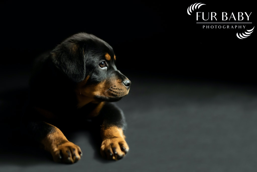 Rottweiler Pup, Valley